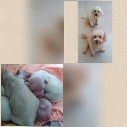 Filhotes de Poodle porte pequeno