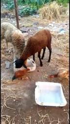 Carneiro e ovelha casal $450