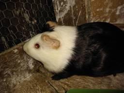 Porquinha da índia fêmea muito linda 30,00 adulta está prenha