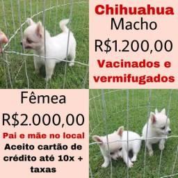 Lindos filhotes de Chihuahua puros