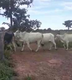Vaca cheia 220 cabeça gado