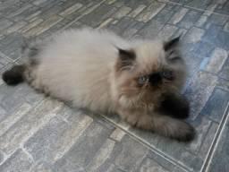 Gatos persas himalaias