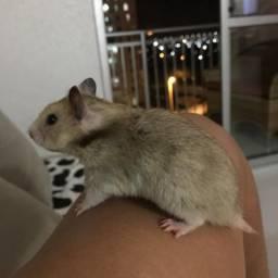Hamsters ? para Adoção Responsável