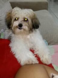 Vende-se essa cachorra lhasa apso ela tem 4 meses