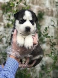 Husky Siberiano com garantia de saúde em contrato (11)9.7796.1054