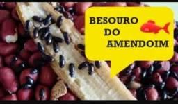 Larvas de amendoim de besouro
