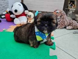 Ùltimo Shih Tzu Machinho
