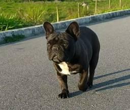 Cobertura Bulldog Francês auto padrão