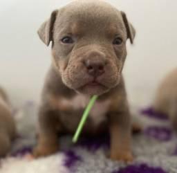 Os melhores filhotes de Pitbull!