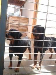 Título do anúncio: Filhote Rottweiler