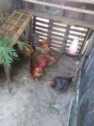 Título do anúncio: Um Galo Label Rouge e 6 galinhas