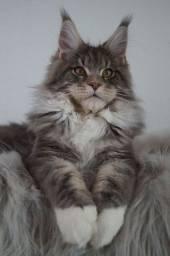 Título do anúncio: Maine coon o gato gigante