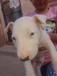 Título do anúncio: Bull Terrier Filhote (Somente o Macho)