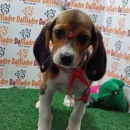 Título do anúncio: Beagle Filhotes Top