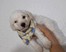 Título do anúncio: Poodle Toy Filhote com Pedigree