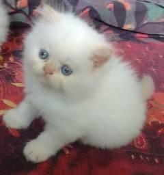 Filhotinha fêmea de gato Persa