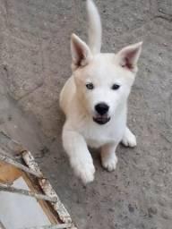 Filhote husky siberiano fêmea