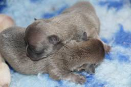 Filhote de chihuahua, canil PS