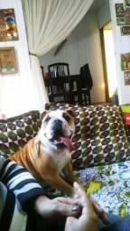 Bulldogue precisa de novo lar!