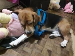Beagle busca namorada
