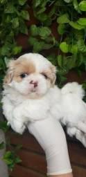Shih tzu com pedigree