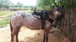 Egua apaluza 9 anos correndo de direita pra qualquer vaqueiro corre