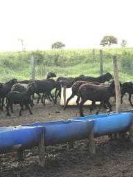 Vendo carneiros santo Inês de qualidade