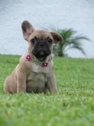 Bulldog francês fêmea Linhagem de campeões (41) 99736-4422