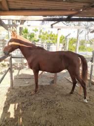 Égua registrada MM