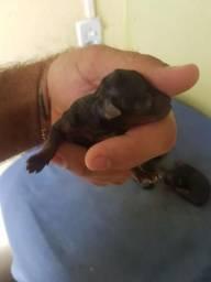 Filhotes de cães da raça yorksharie disponíveis para vendas