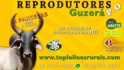 [[183ED]] Shop Super Touros Guzerá PO - Genética Leiteira em 12 parcelas