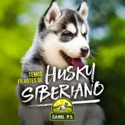 Filhotes de husky siberiano de alta genética