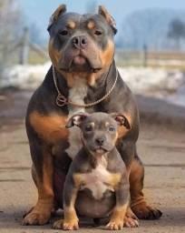 O melhor presente: Filhotes legitimos de Pitbull