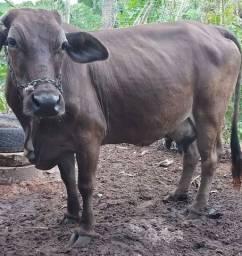 Vende-se uma vaca com bezerra chuite com jir por 7.000