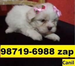 Canil Lindos Cães Pet Filhotes BH Maltês Bulldog Shihtzu Yorkshire Lhasa Beagle