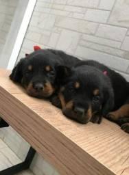 Título do anúncio: Canil Euro Filhotes de Rottweiler lindos com Pedigree