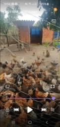 Título do anúncio: Lote de pato e galinhas