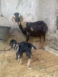 Título do anúncio: Cabra anglo nubiana