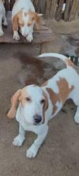 Cachorra Beagle com Americano com 8 meses