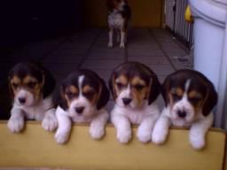 Título do anúncio: Disponível para entrega filhotes de beagle com pedigree