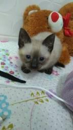 Título do anúncio: Vende-se gato siamês