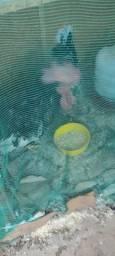 Vendo 1 galo 2 galinha