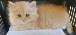 Título do anúncio: Filhotinho de gato persa