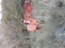 Título do anúncio: Cavalo gateado