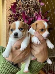 Título do anúncio: Jack russel terrier