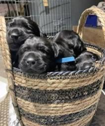 Filhotes de Labrador já disponíveis