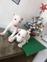 Título do anúncio: Bull Terrier Inglês ,machos e fêmeas a pronta entrega *