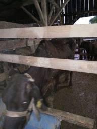 Título do anúncio: Vacas pra engorda