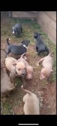 Título do anúncio: Filhotes de pitbull e pastor holandês para venda