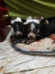 Vendo Filhote de Yorshire Terrier